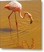 Greater Flamingo In The Water At Galapagos Islands Metal Print