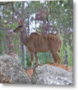 Greater Kudu Female - Rdw002756 Metal Print