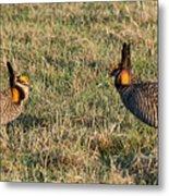 Greater Prairie Chicken Males 1 Metal Print