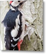 Greater Spotted Woodpecker Metal Print