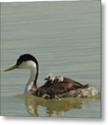 Grebe With Two Chicks On Its Back Metal Print