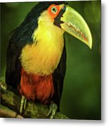 Green-billed Toucan Perched On Branch In Jungle Metal Print