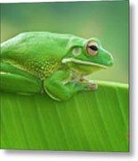 Green Frog Whitelips Metal Print