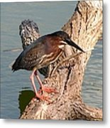 Green Heron 1 Metal Print