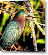 Green Heron At Green Cay Wetlands Metal Print