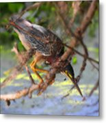 Green Heron Brazos Bend State Park Metal Print