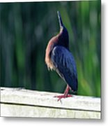 Green Heron Calling Softly In The Early Morning Metal Print