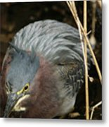 Green Heron Hunting Metal Print