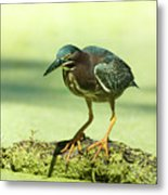 Green Heron In Green Algae Metal Print