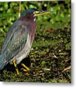Green Heron In Swampy Water Metal Print