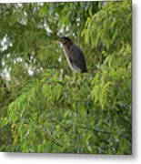 Green Heron In Tree Metal Print