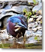 Green Heron Male Metal Print