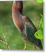 Green Heron Pose Metal Print