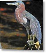 Green Heron Sretching Wing Metal Print