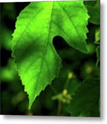 Green Is The Mulberry Leaf Metal Print