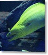 Green Moray Eel Metal Print