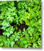 Green Parsley 2 Metal Print