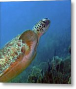 Green Sea Turtle 4 Metal Print