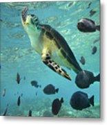 Green Sea Turtle Balicasag Island Metal Print