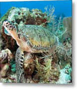 Green Sea Turtle On Caribbean Reef Metal Print