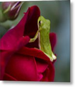 Green Tree Frog And Red Roses Metal Print