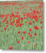 Green Wheat And Red Poppy Flowers Field Metal Print