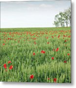 Green Wheat Field Spring Scene Metal Print