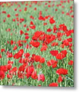 Green Wheat With Poppy Flowers Metal Print