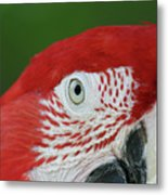 Green-winged Macaw Close Up Metal Print