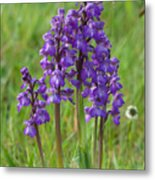 Green-winged Orchids Metal Print