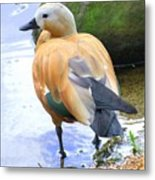 Green Winged Wood Duck 1 Metal Print