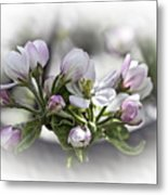 greeting card - Apple Blossoms  Metal Print