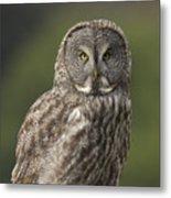 Great Gray Owl Portrait Metal Print