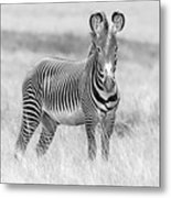Grevy Zebra  5953bw Metal Print