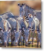 Grevy Zebra Party  7528 Metal Print