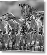 Grevy Zebra Party  7528bw Metal Print