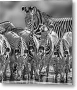 Grevy Zebra Party  7528bwc Metal Print