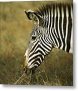 Grevy's Zebra Metal Print