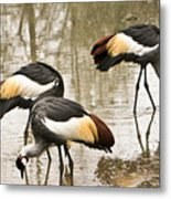 Grey Crowned Crain Of Africa 5 Metal Print