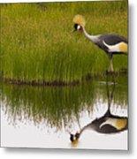 Grey Crowned Crane - Signed Metal Print