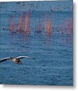 Grey Lag Goose In Flight Metal Print