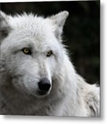 Grey Wolf Cover Of Canadian Geographic Magazine Metal Print