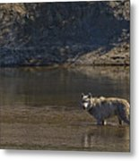 Grey Wolf In The Yellowstone River-signed-#4363 Metal Print