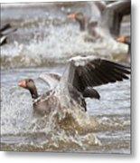 Greylag Goose Landing Metal Print