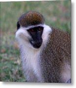Grivet Monkey Ethiopia Metal Print