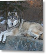 Grizzer Intelligence Personified Metal Print by Gerry Sibell