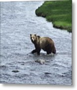 Grizzly At Yellowstone Metal Print