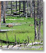 Grizzly Bear And Cub Cross An Area Of Regenerating Forest Fire Metal Print