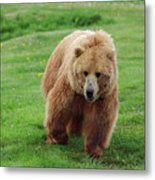 Grizzly Bear Approaching In A Field Metal Print
