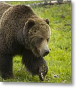 Grizzly Bear Boar-signed-#8517 Metal Print